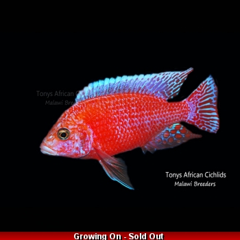 Aulonocara Firefish *Line Bred* - COLOURED PAIR 7-8cm LIMITED STOCK