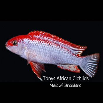 4 x Pseudotropheus Ndumbi Super Red Top T.A.C 3-4cm,