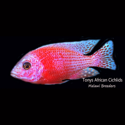 "Aulonocara Firefish "" ICE ""*UK Line Bred* - COLOURED PAIR 8-10cm BACK IN STOCK"