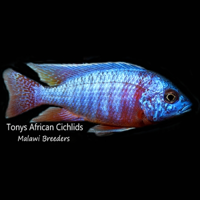 Aulonocara Burgundy Blue *Line Bred* - COLOURED SEXED PAIR 10-12cm females smaller