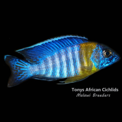 FEMALE ONLY Aulonocara malauna F1 4 x 6-7cm, Limited stock