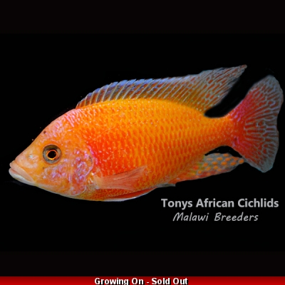 "Aulonocara Sunset *UK Line Bred* - COLURED SEXED PAIR - 10-12cm/4-5""  BACK IN STOCK"