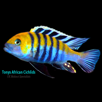 4 x Cynotilapia afra Cobue 3-4cm, Limited stock