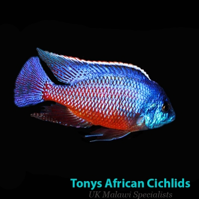 Protomelas taeniolatus Red Empress - COLOURED PAIR 10-12cm BACK IN STOCK