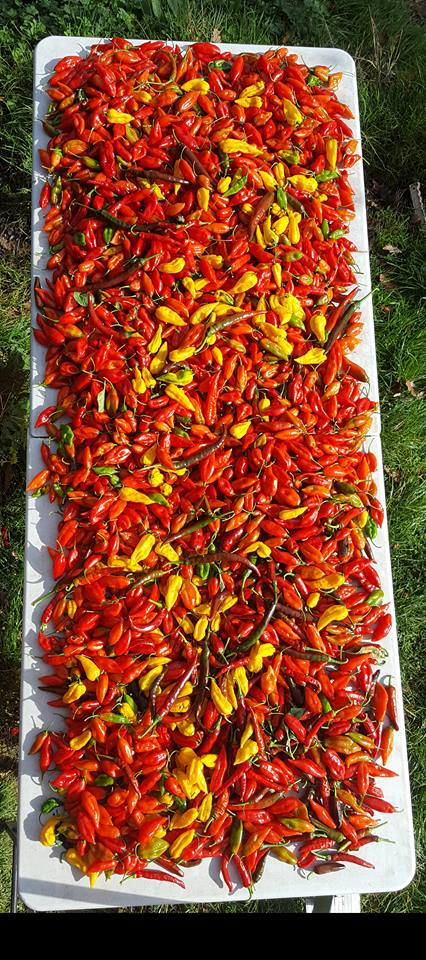 picking chillies at dartmoor chilli farm