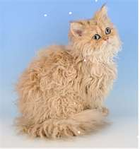 We have an American Bob-Tail cat and they have very thick hair. She got matted hair all on both side, put baby oil on just the matts and worked into the hair, it works great, matts are gone and she is so happy!! Don't try to comb or brush then it does no good and is very painful to the cat.