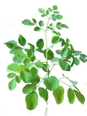 Moringa 6 oz Moringa Powder Organic Pure Hawaiian Moringa leaves - Fight  Cancer, Aids, High Blood Pressure, Heart, Liver & Kidney Dis