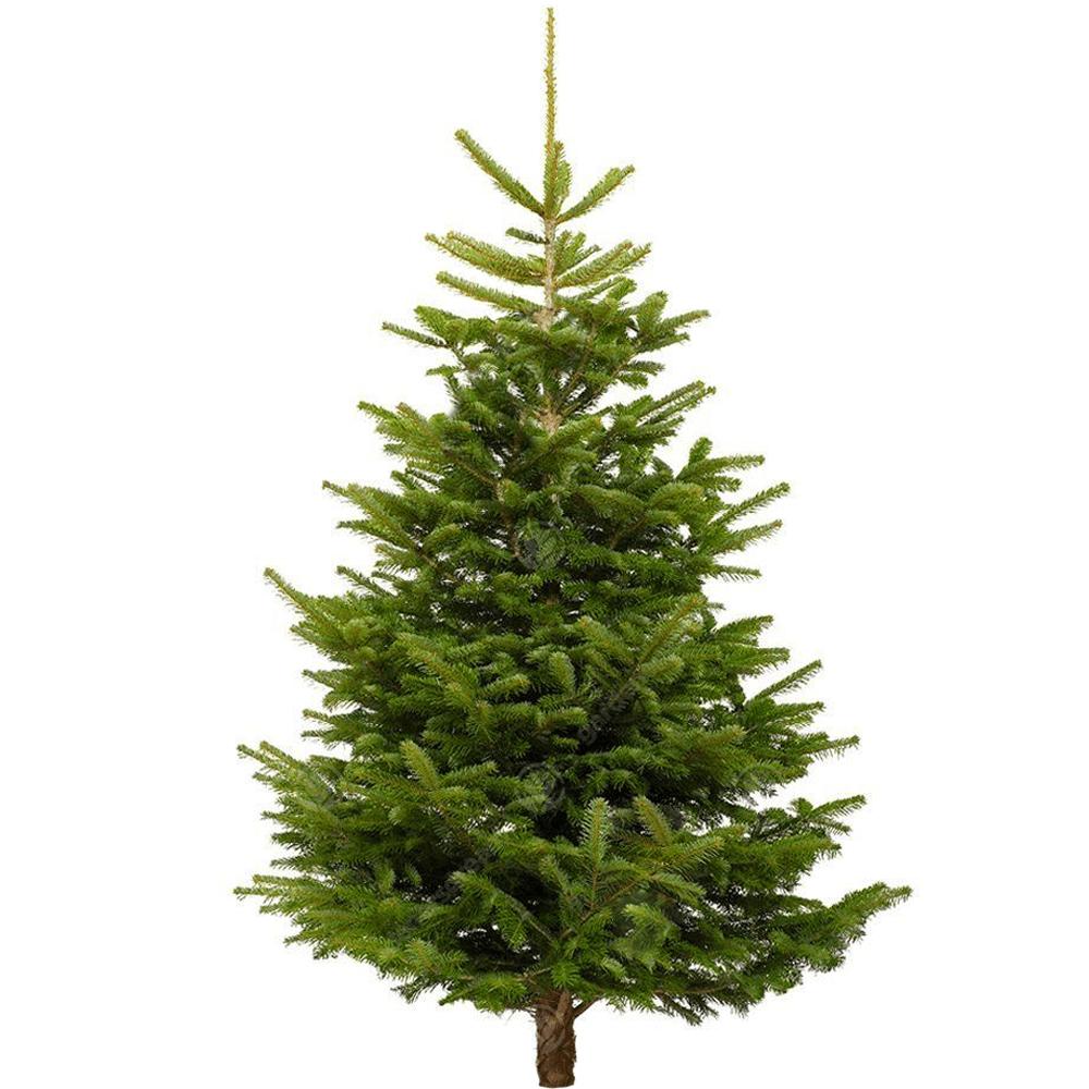 Christmas Tree Nordmann Fir