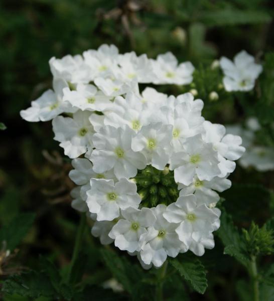 White Verbena