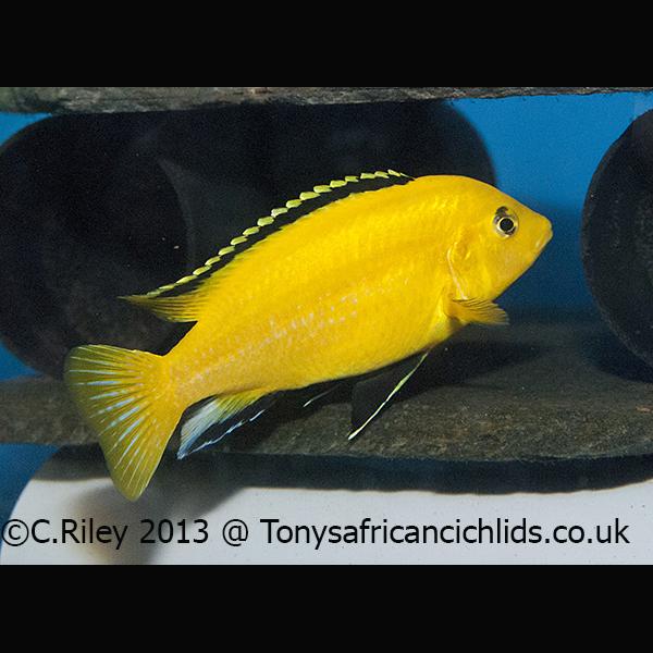Labidochromis caeruleus *Yellow labs*  Labidochromis c...