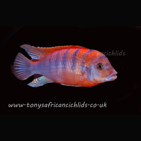 Labidochromis Super Red Top Hongi