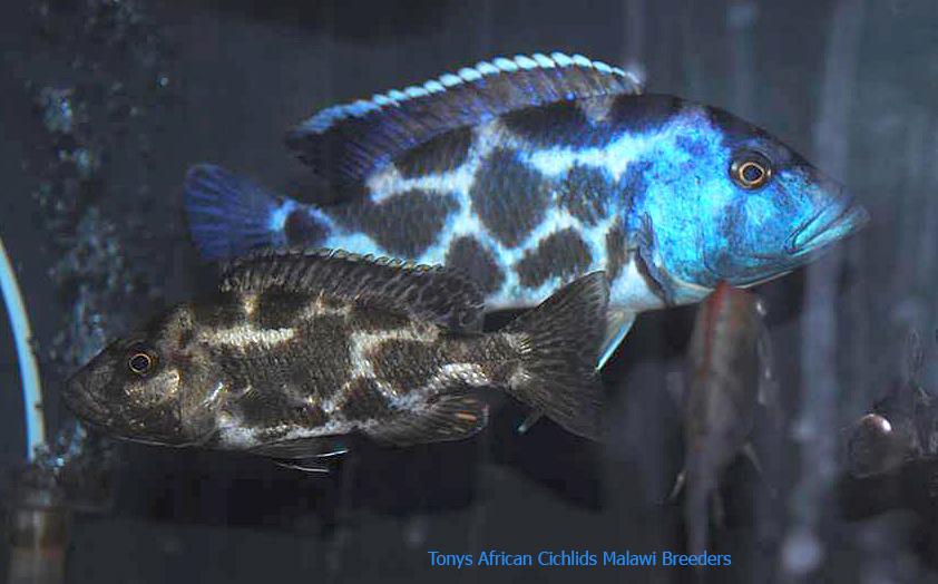 Nimbochromis livingstonii sexed pairs 12-14cm