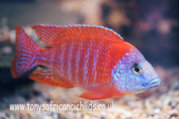 4 x 4cm Aulonocara Orange peacock