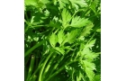 Italian Flat Parsley