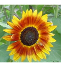 Sunflower – Summer Mix