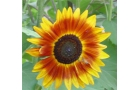 Sunflower – Summer..