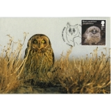 4088x Short-eared Owl juvenile maximum..