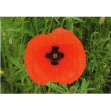 DR01 Norfolk Poppy postcard - with cro..