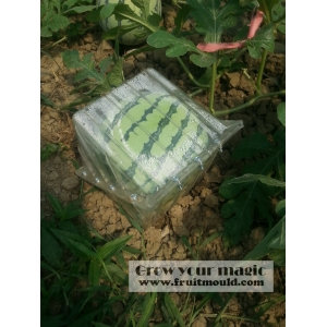 square watermelon growing on square shape mold box