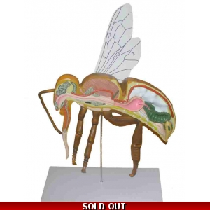 Bee Anatomy Model