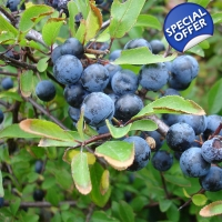Sloe Blackthorn EO