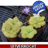 Pinguicula hybrid mix 1