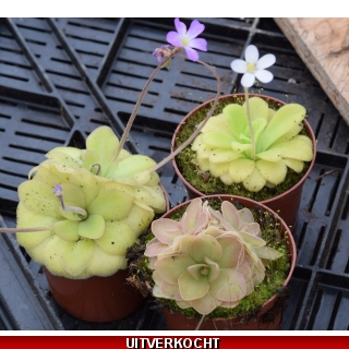 Pinguicula hybrid mix 2