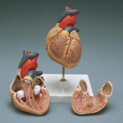 Heart Model, Anatomically correct, Dissectible - 2 parts