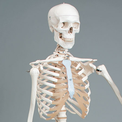 Mr. Plain Human Skeleton, Lifesize, w/Mobile Stand