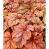 Heucherella 'Copper Cascade'