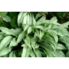 Pulmonaria Cotton Cool'