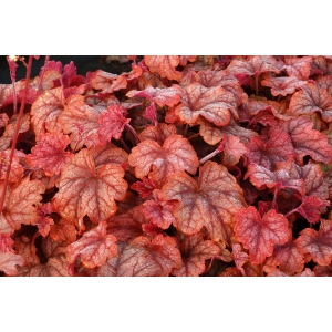 Heucherella 'Copper Cas..