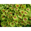 Heucherella 'Fire Frost'