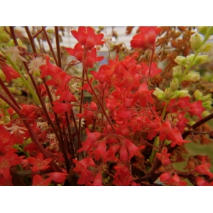 Heuchera 'Fire Fly'