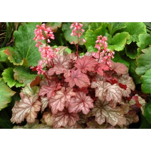 Heuchera 'Ginger Snap' Cutie series