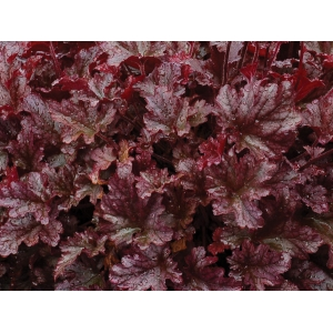 Heuchera 'Berry Marmala..