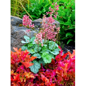 Heuchera 'Peppermint' C..