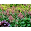 Heuchera 'Peppermint' Cutie series