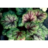 Heuchera 'Picasso' Master painter