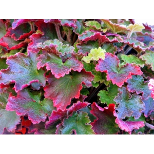Heuchera 'Red Dress'
