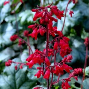 Heuchera 'Ruby Bells'