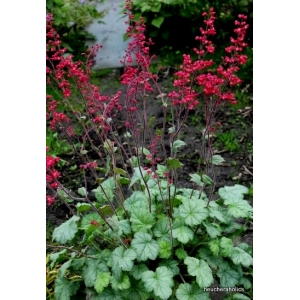 Heuchera 'Silver Dollar'