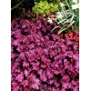 Heuchera 'Sugar Berry' Cutie series