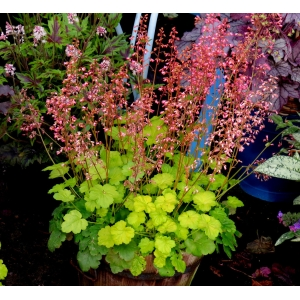 Heuchera 'Sweet Tart' C..