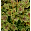 Heuchera 'Thomas'