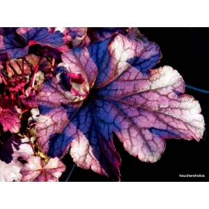 Heuchera 'Blackberry Jam'
