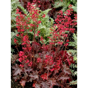Heuchera 'Cherries Jubilee'