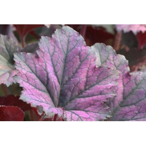 Heuchera 'Frosted Violet'