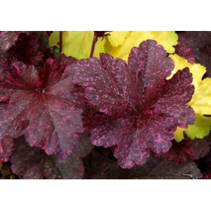 Heuchera 'Midnight Rose' sel..