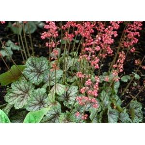 Heuchera 'Peppermint Sp..
